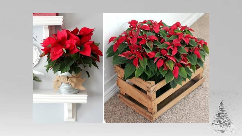 Plantas para la Navidad